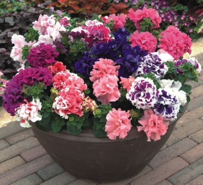 Petunia Double Pirouette Mixed F1