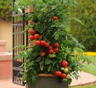 Tomato Cherry Christmas Tree