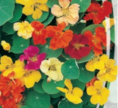 NASTURTIUM CREEPING MIX