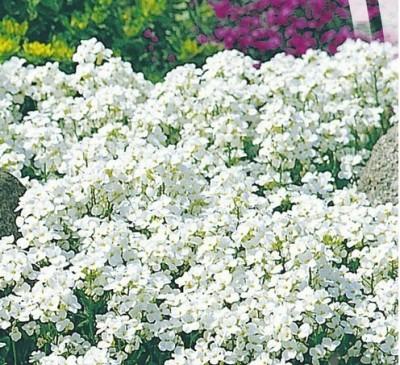 ARABIS ALPINE WHITE