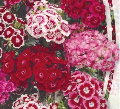 DIANTHUS TURKISH MIX