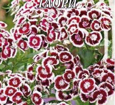 DIANTHUS TURKISH GLORY