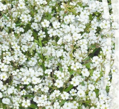 GYPSOPHILA  WHITE