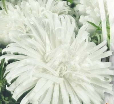 ASTER BRIDE WHITE