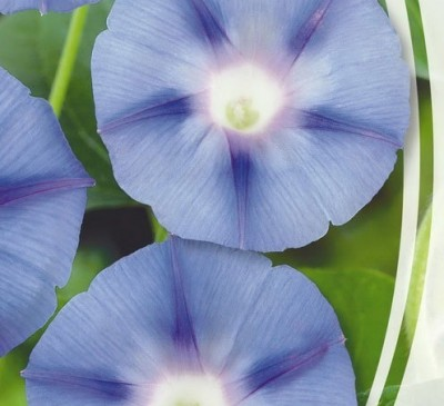 IPOMOEA BLUE STAR