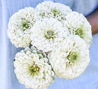 Zinnia Polar Bear