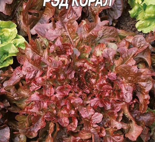 Salad Red Coral
