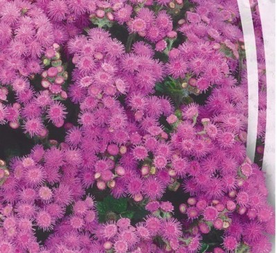 AGERATUM PINK FLAME