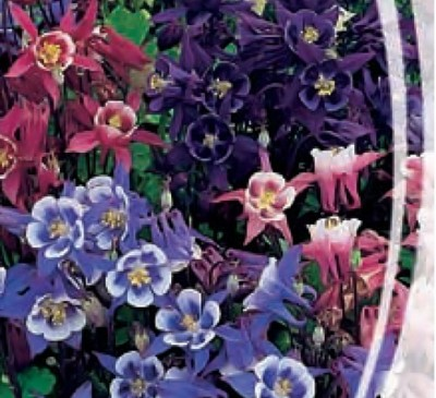 AQUILEGIA UNDERSIZED MIX