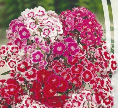 DIANTHUS UNDERSIZED MIX