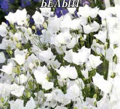 BELLFLOWER CARPATHIAN WHITE