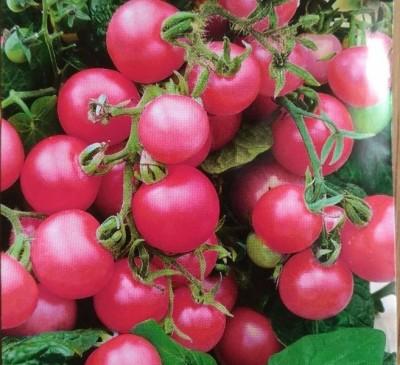 Tomato Cherry rozoviy
